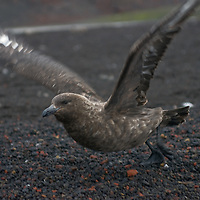 An Antarctic (Brown) Skua takes off from the volcanic ash of a beach at Whaler's Bay on Deception Island, Antarctica.