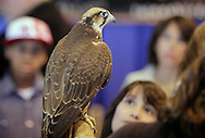 """Suffern, New York - Lorrie Schumacher holds a hawk during a presentation at the """"Talons - A Birds of Prey Experience"""" exhibit at the Northeast Astronomy Forum at Rockland Community College on April 17, 2011."""
