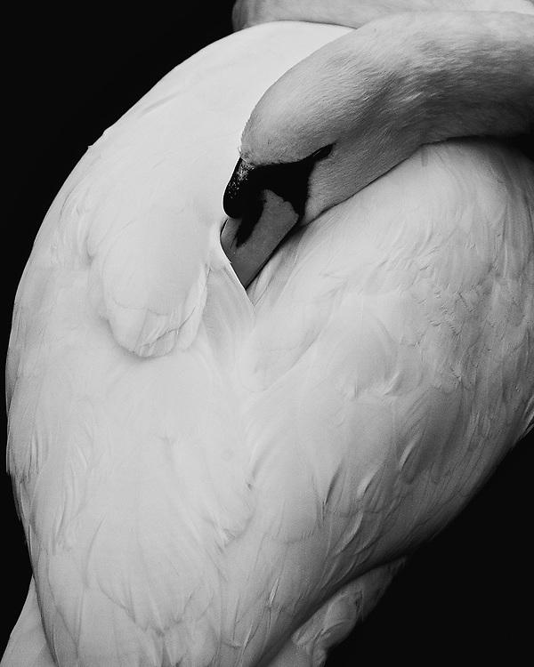 A preening swan at Charlottenhof Palace,  Sanssouci Park, Potsdam, Germany.