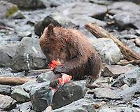 Baby Bear feeding on salmon in the South of Alaska
