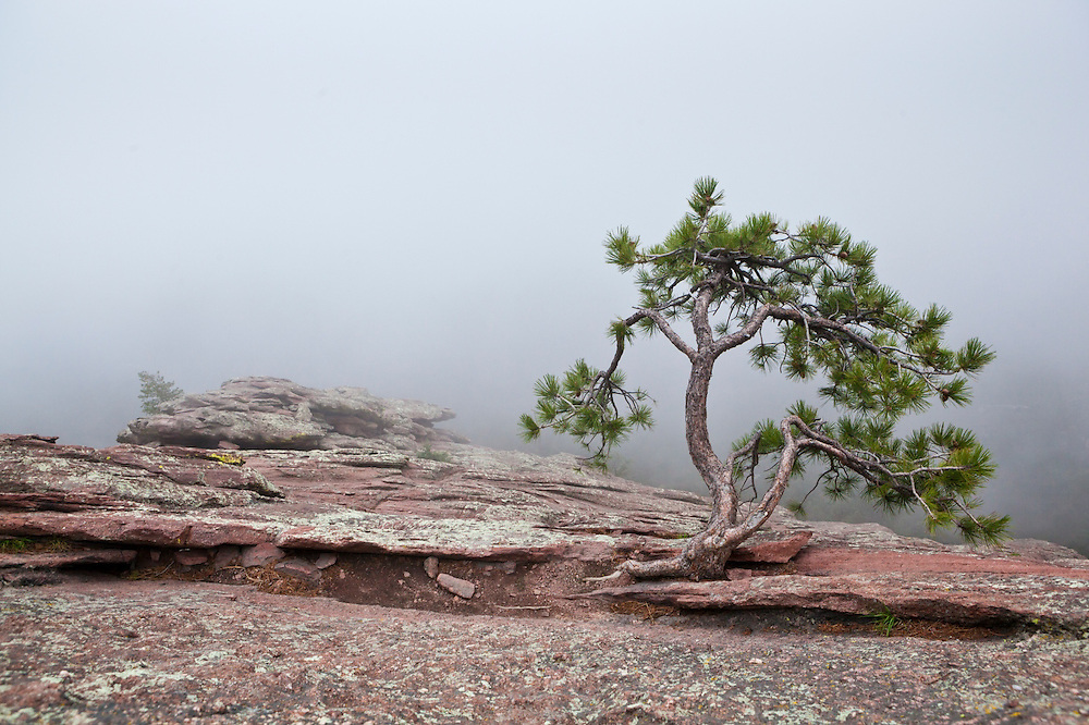 A lone pine tree growing out of the rock on the First Flatiron above Boulder, Colorado.
