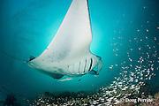 reef manta ray, Manta alfredi (formerly Manta birostris ), with remora, entangled in monofilament fishing line, which is cutting through right pectoral fin; at mouth of Hanifaru Bay, Hanifaru Lagoon, Baa Atoll, Maldives ( Indian Ocean )