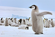 Emperor penguin chicks throws its wings out in celebration with other penguins in the background.