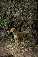 A female Leopard in the Masai Mara National Park, Kenya