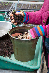 Potting up dahlia tubers in early spring to start back into growth.