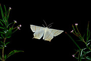 Swallowtail Moth, Ourapteryx sambucaria, in flight, high speed photographic technique, flying, night, twisted wing shape
