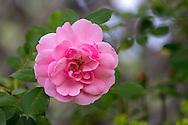 A 'Bonica' Rose flowering in a backyard garden