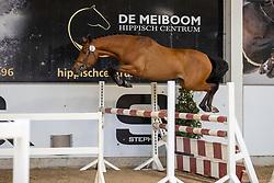 022, Kenzo van Orchid's<br /> Hengstenkeuring Brp- Azelhof - Lier  2021<br /> © Hippo Foto - Dirk Caremans<br /> 14/04/2021