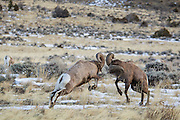 Bighorn rams fighting during the autumn rut in Wyoming