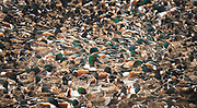 Thousands of northern shovelers congregate on the Great Salt Lake to feed on brine shrimp encased embryos and brine flies.