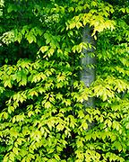 Spring leaves of Beech, Fagus grandifolia, Thomas A. Coleman Wayside near Ludington, Michigan.