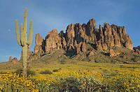 Saguaro (Carnegiea gigantea), Superstition Mountains, Arizona