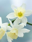Narcissus 'Sailboat' - jonquilla daffodil