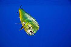Mahi Mahi / Common Dolphinfish