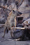 Spotted Hyaena on Elephant Carcass<br />Crocuta crocuta<br />Linyanti, BOTSWANA