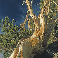 Ancient tree survives after 1000s of years in high, hostile setting.