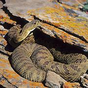 Western rattlesnake (Crotalus viridis) sunning on rocks in the eastern Montana prarie.