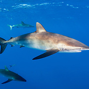 A trio of Silky sharks (Carcharhinus falciformis) in the pelagic, open ocean off Jardines de la Reina, Gardens of the Queen National Park, Cuba