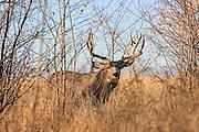A large drop-tine mule deer buck in open grassland habitat