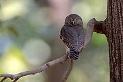 Jungler owlet (Glaucidium radiatum) from Kanha national Park, Madhya Pradesh, India.