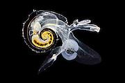 [captive] Sea elephants (Heteropoda (Synonyms Pterotracheoidea) -Heteropod - pelagic marine gastropod mollusc (Atlanta inclinata), Atlantidae, Atlantic Ocean, close to Cape Verde | Räuberisch lebende Planktische Meeresschnecke (Atlanta inclinata),  Sie ernähren sich besonders von anderen Planktonweichtieren wie den Pteropoden. Ihre Zähne haben die Form einer Radula - ein Förderband aus scharfen Messern, die ein wenig wie ein Ölbohrer wirkt. Atlantischer Ozean, nahe Kap Verde