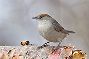 The Eurasian Blackcap (Sylvia atricapilla) usually known simply as the Blackcap, is a common and widespread sylviid warbler which breeds throughout temperate Europe. In Iceland it is vagrant. This one has struggled trough the winter in my garden.