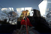 """Rescued greyhound """"Ella"""" waits for her foster family to take her to their home from the NJ Greyound Rescue Program (NJGAP) Intake event. Once there, her foster family renamed her """"Bella."""""""