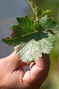 A vine leaf in the hand of the vineyard manager UNK UNK Vranac grape variety. Hercegovina Vino, Mostar. Federation Bosne i Hercegovine. Bosnia Herzegovina, Europe.