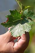 A vine leaf in the hand of the vineyard manager UNK UNK Vranac grape variety. Hercegovina Vino, Mostar. Federation Bosne i Hercegovine. Bosnia Herzegovina, Europe.