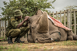 A wildlife ranger comforts Sudan, the last living male Northern White Rhino left on the planet, moments before he passed away March 19, 2018 at Ol Pejeta Wildlife Conservancy in northern Kenya. Sudan lived a long, healthy life at the conservancy after he was brought to Kenya from Dvur Kralov zoo in the  Czech Republic in 2009. He died surrounded by people who loved him at  after suffering from age-related complications that led to degenerative changes in muscles and bones combined with extensive skin wounds. Sudan has been an inspirational figure for many across the world. Thousands have trooped to Ol Pejeta to see him and he has helped raise awareness for rhino conservation. The two female northern white rhinos left on the planet are his direct descendants. Research into new Assisted Reproductive Techniques for large mammals is underway due to him. The impact that this special animal has had on conservation is simply incredible. And there is still hope in the future that the subspecies might be restored through IVF. <br /> In 2009, I had the privilege of following this gentle hulking creature on his journey from the snowy Dvur Krulov zoo in the Czech Republic to the warm plains of Kenya, when he was transported with three of his fellow Northern White Rhinos in a last ditch effort to save the subspecies. It was believed that the air, water, and food, not to mention room to roam, might stimulate them to breed—and the offspring would then be used to repopulate Africa. At the time, there were 8 Northern white rhinos alive, all in zoos. Today, we are witnessing the extinction of a species that had survived for millions of years but could not survive mankind. (Photo by Ami Vitale)