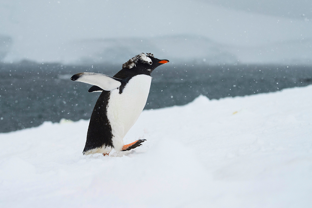 A molting Gentoo penguin waddles on Thursday, Feb. 8, 2018 in D'Hainaut Island, Antartica. (Photo by Ric Tapia)