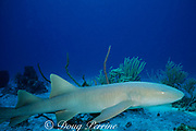 nurse shark, Ginglymostoma cirratum, Bahamas ( Western Atlantic Ocean )