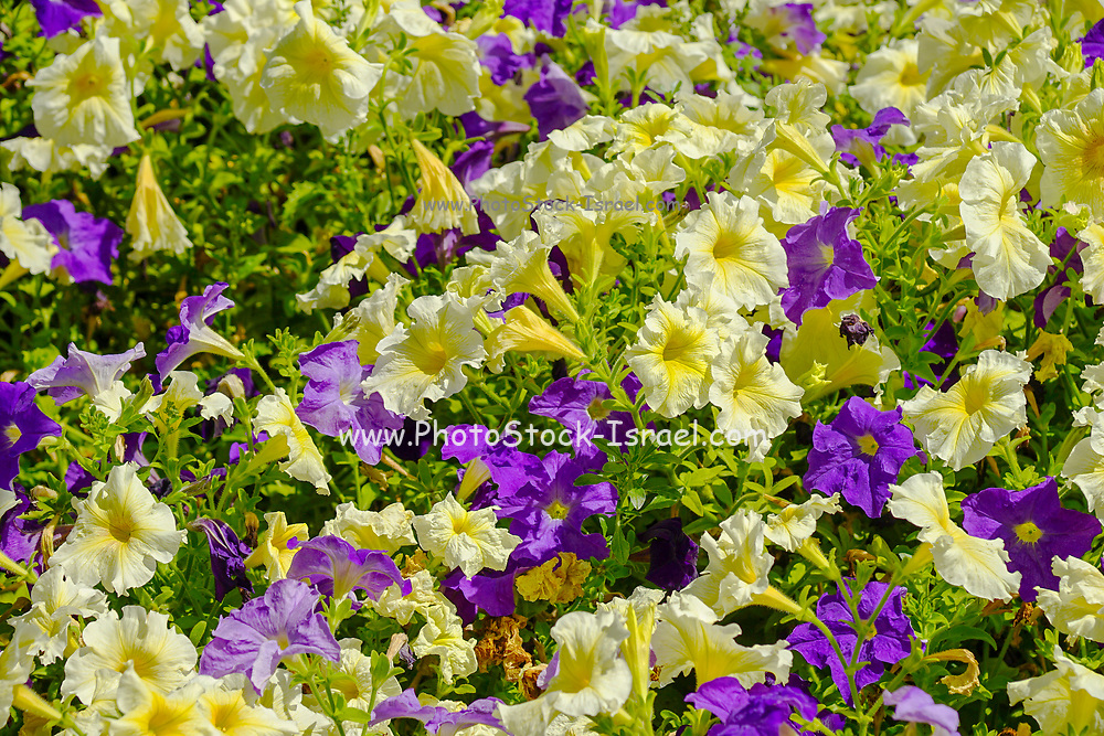 a cluster of yellow and purple Petunias