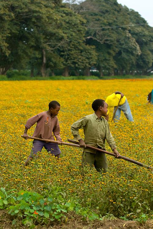 Farming flowers for export, Tanzania