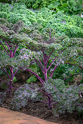 Brassica oleracea Acephala Group 'Redbor' - Kale