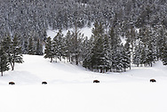 Four bison walk along the woodline in snow in Yellowstone National Park.