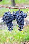 Bunches of ripe grapes. Cabernet Franc. Chateau Paloumey, Haut Medoc, Bordeaux, France.