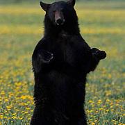 Black Bear, (Ursus americanus) In field of dandelions. Spring. Montana. Captive Animal.