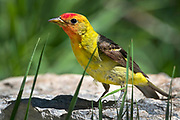 Male Western Tanager, Piranga ludoviciana, Sandia Mountains, New Mexico.