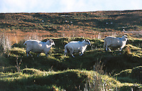 Schapen in Kerry Ierland.
