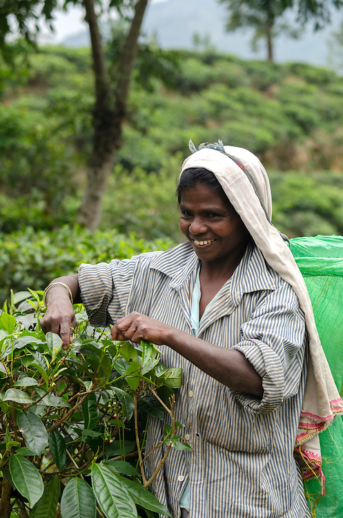 A tea plucker, near Ella village, Southern Highlands, Sri Lanka