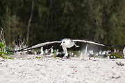 Laysan albatross, Phoebastria immutabilis, runs across the beach to gain speed while taking off, Sand Island, Midway Atoll, Midway National Wildlife Refuge, Papahanaumokuakea Marine National Monument, Northwest Hawaiian Islands ( North Pacific Ocean )