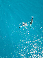 Aerial view of two whales shark swimming in the transparent sea of Moorea island in French Polynesia.