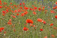 Field of Common Poppy, Papaver rhoeas, in Cheshiire, England