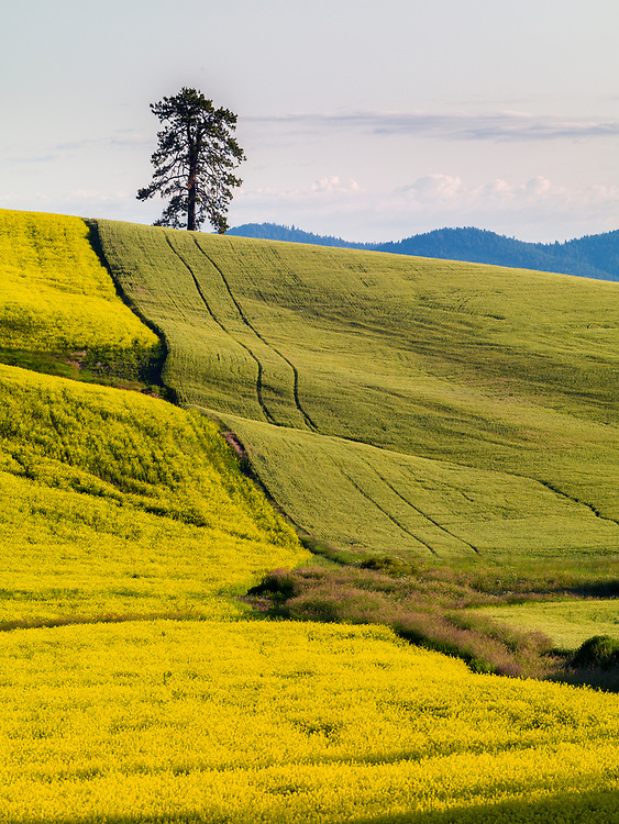 Agricultural patterns of canola and wheat create their own mosaic onthe Palouse rolling hills of North Idaho in early summer