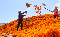 August 15, 2017 - Zhangye, China - Peasants are busy with picking and harvesting  chrysanthemums flowers in Zhangye, northwest China's Gansu Province. (Credit Image: © SIPA Asia via ZUMA Wire)