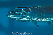 great barracuda, Sphyraena barracuda, <br /> being cleaned by cleaner wrasse, <br /> Labroides dimidiatus,<br /> Mabul Island, off Borneo, Sabah, <br /> Malaysia ( Celebes Sea )