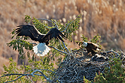 Landing Bald at Eagles Nest bringing in a trout. Trout can be seen in silhouette in the eagles tail.