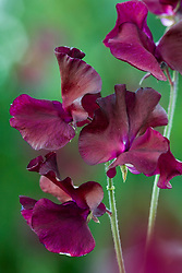 Lathyrus odoratus 'Midnight' - Sweet pea