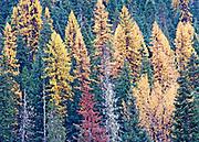 Autumn Tamarack Portrait, Idaho